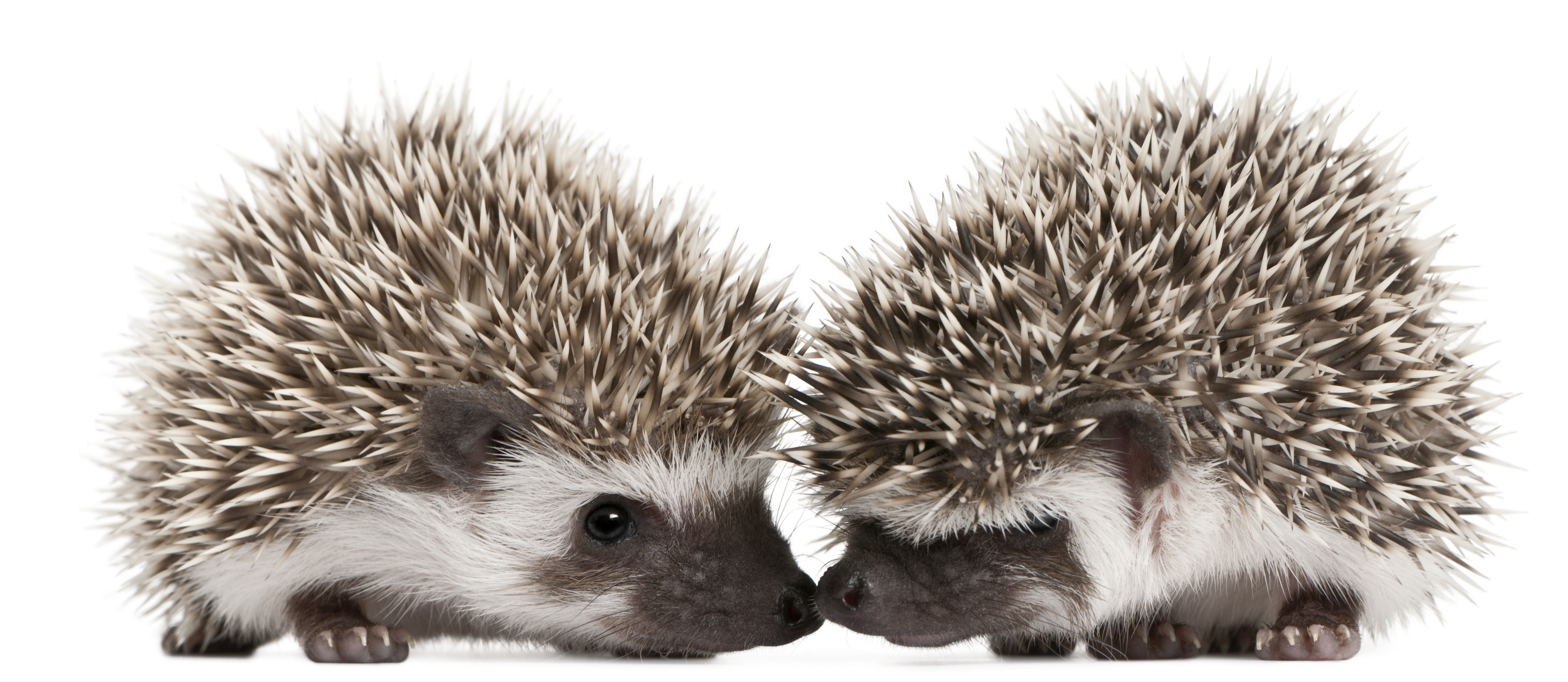 porcupines teach us balance in relationships aren t porcupines cute ...